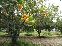 orange-tree-1117420_640